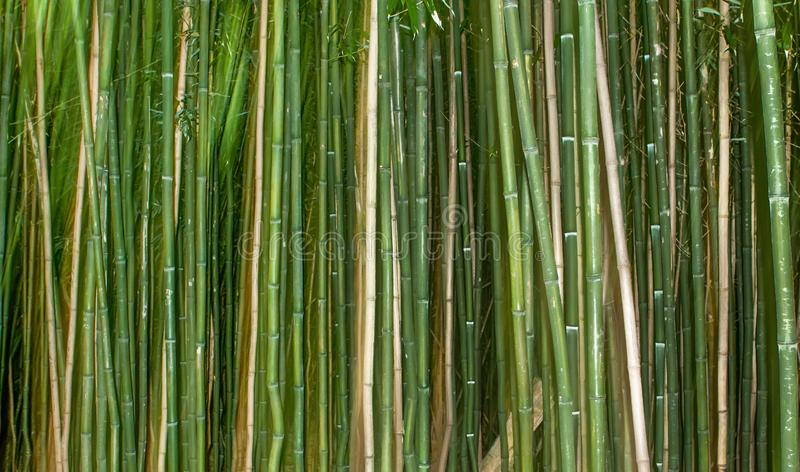 Bamboo Canes Background with Green. Green Bamboo cane plants in a row for background or banner stock photos