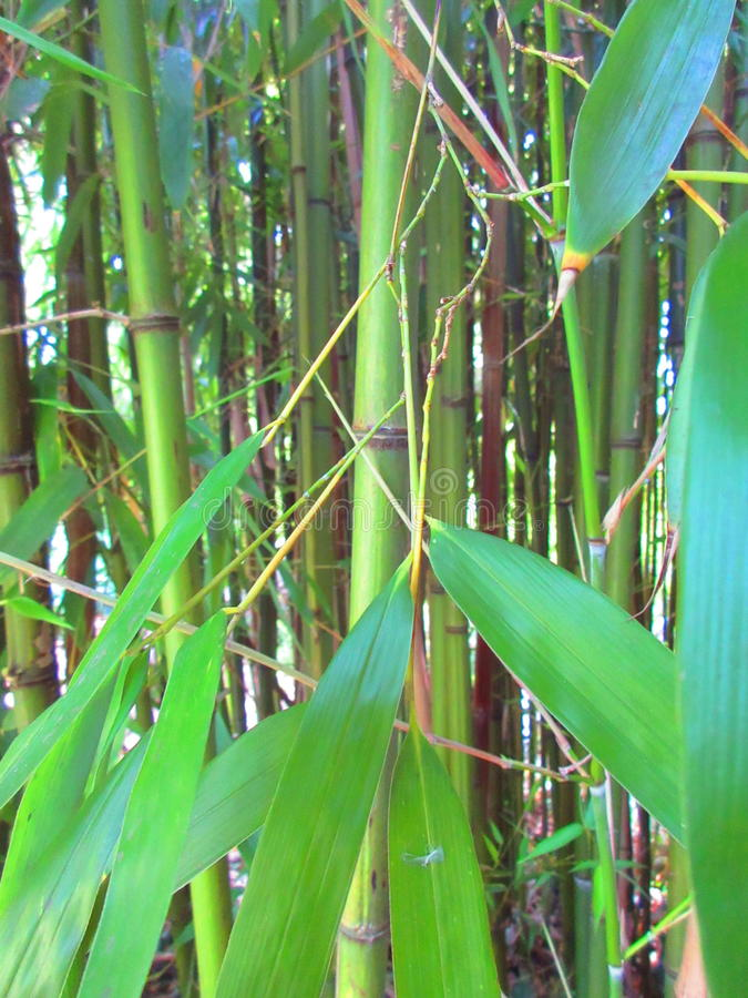 Bamboo canes and leaves. Vivid green bamboo canes and leaves stock photography