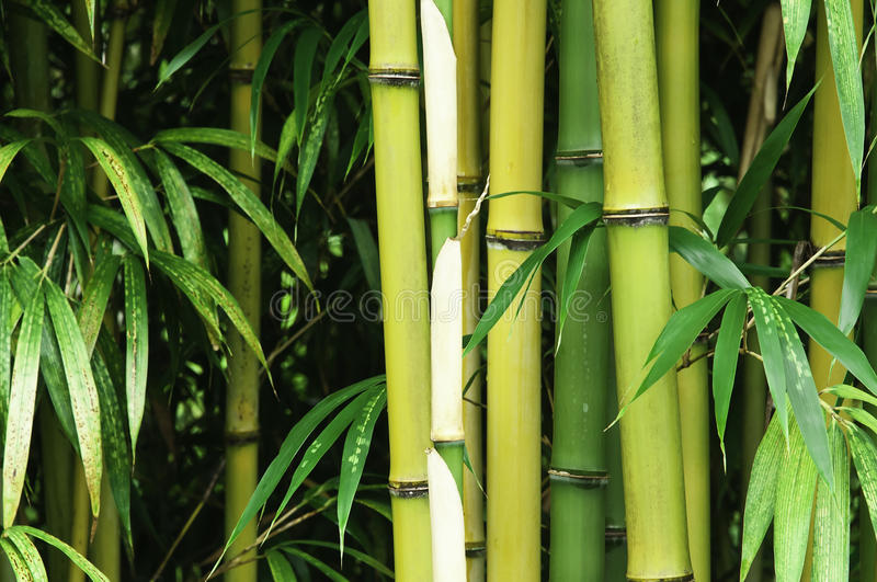 Bamboo close up royalty free stock images