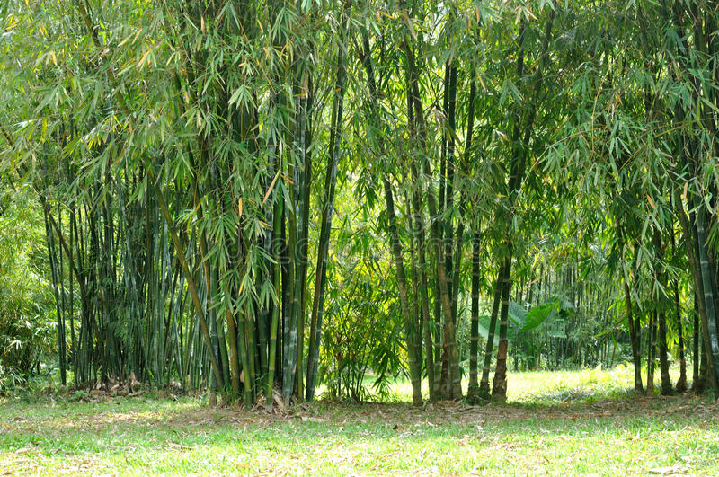 Download Bamboo cluster stock image. Image of life, vital, bamboo - 13696049