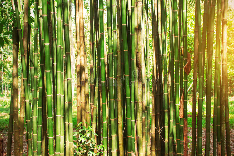 Bamboo in the daytime. Bamboo green with yellow light in the daytime stock photo