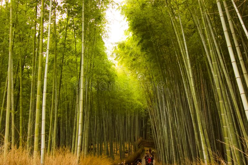 Bamboo Farm enchanting forest for tourist  to enjoy the pathways of the Bamboo forest. Bamboo Farm, in Kyoto, Japan, enchanting forest for tourist  to enjoy the stock images