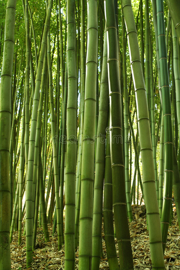 Free Bamboo Forest Stock Photography - 1082162