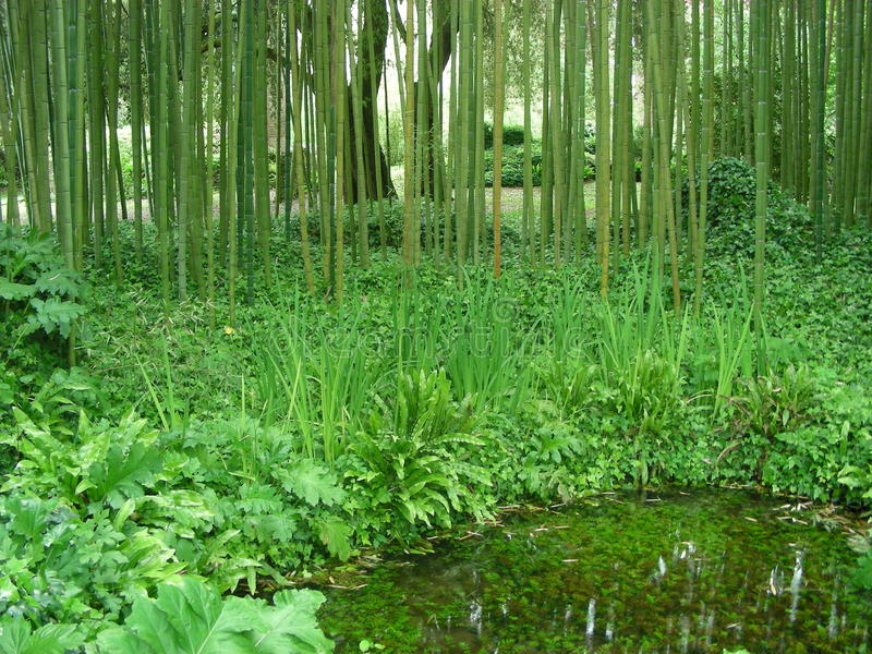 Bamboo forest. Picture of a bamboo forest stock images