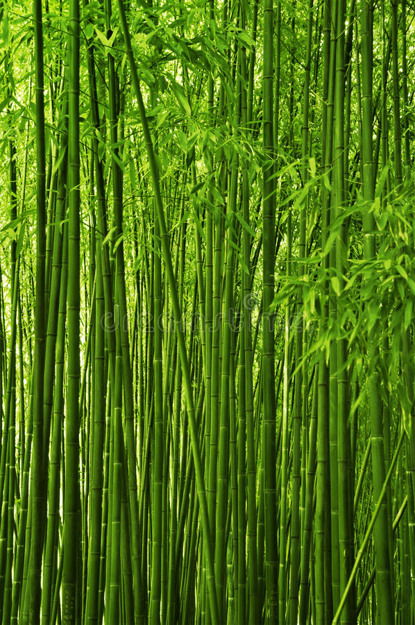 Bamboo Forest Stock Photo Image Of Natural Orient