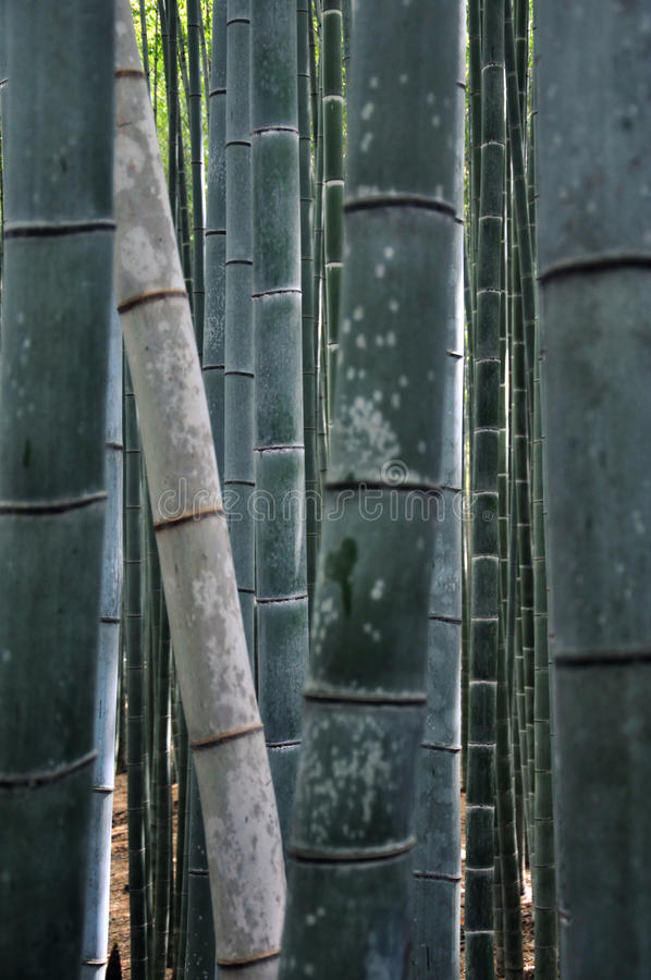 Download Bamboo forest stock image. Image of japan, forest, enviormental - 14575795