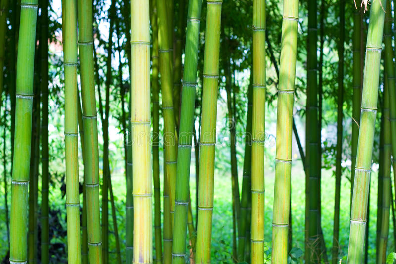 Bamboo forest background royalty free stock image