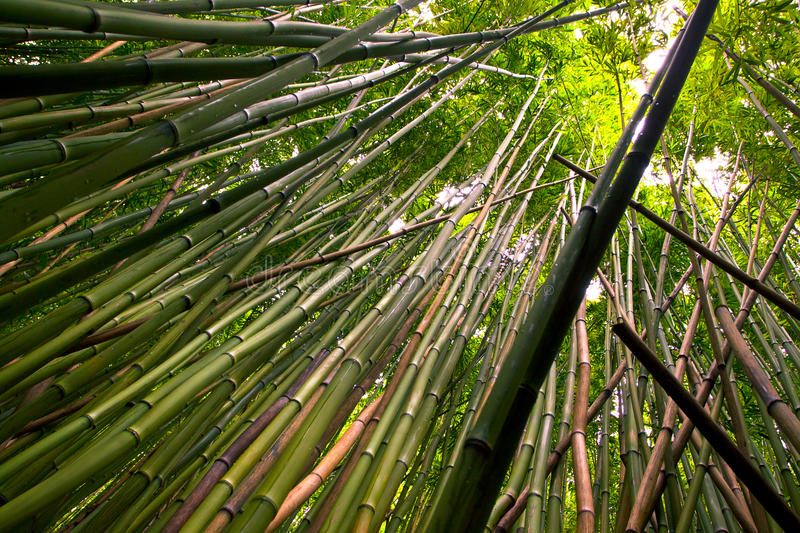 Download Bamboo Forest Royalty Free Stock Photography - Image: 16446817