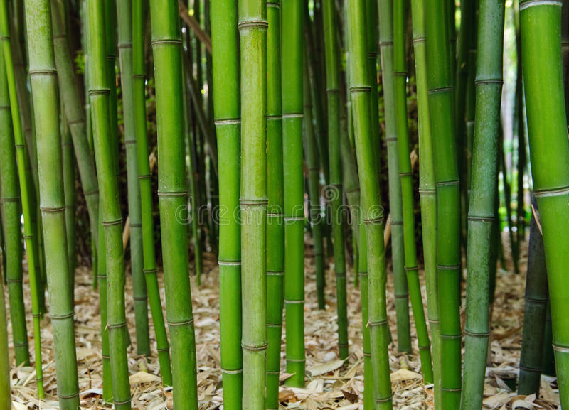 Download Bamboo forest stock image. Image of nature, gardening - 18736753