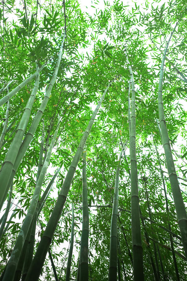 Download Bamboo forest stock photo. Image of culture, decoration - 20336204