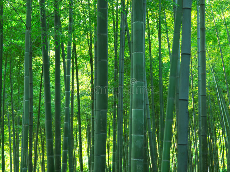 Download Bamboo forest stock image. Image of forest, natural, plant - 21366015