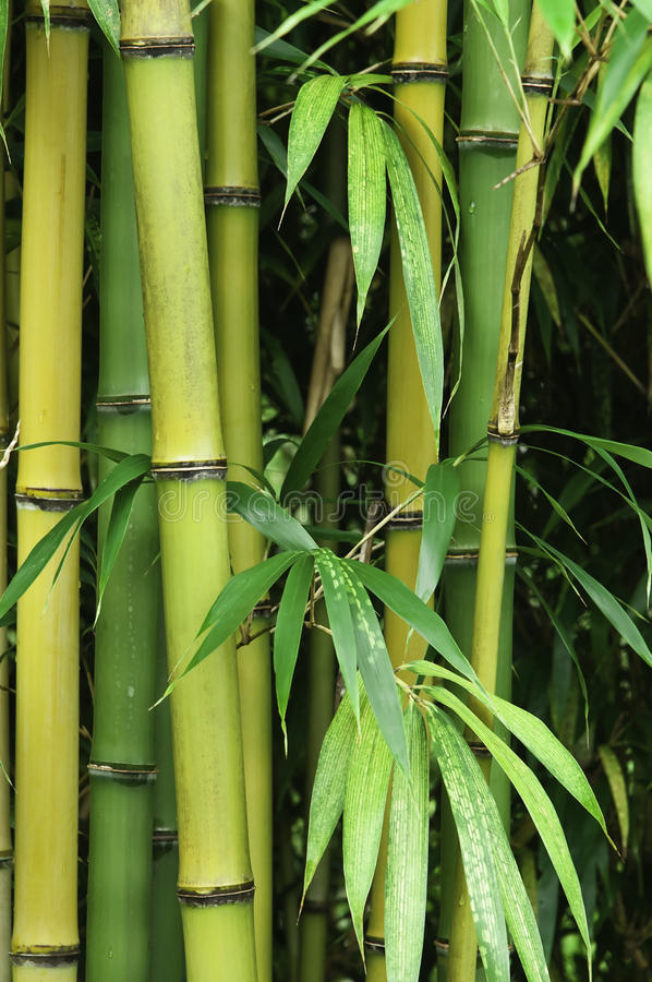 Download Bamboo forest stock photo. Image of growth, japan, life - 23863080