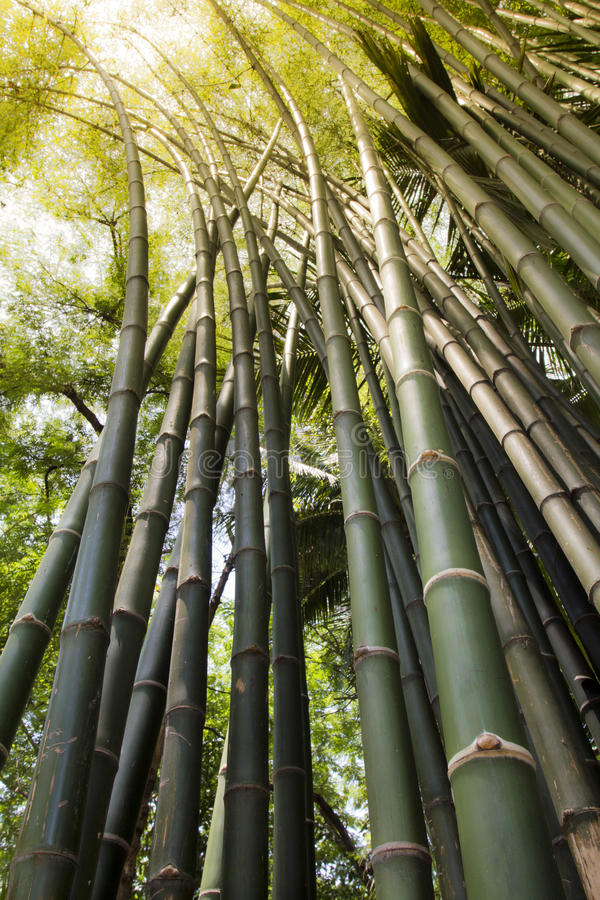 Download Bamboo Forest Royalty Free Stock Image - Image: 25384586