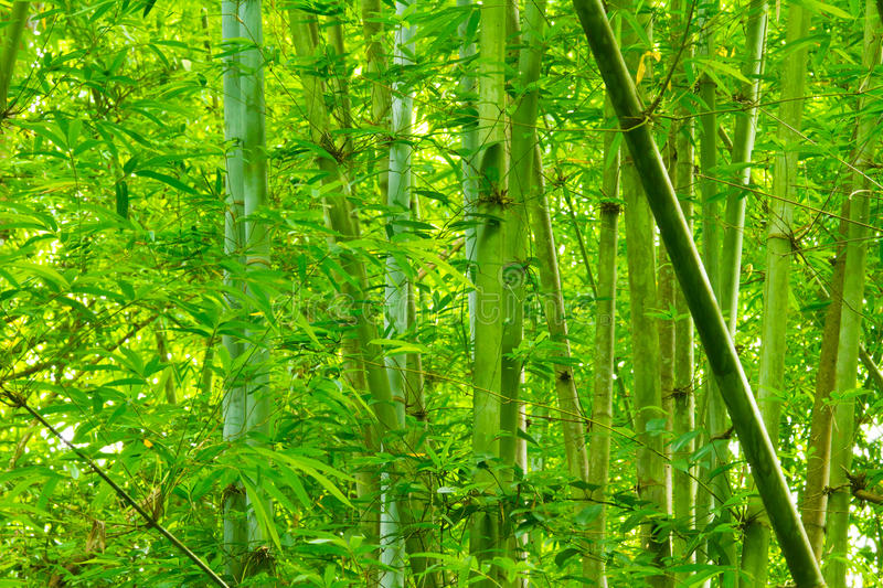 Download Bamboo forest stock image. Image of background, green - 26065237