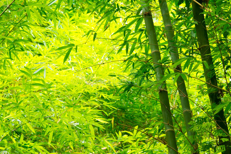 Bamboo forest. The bamboo forest in Thailand royalty free stock photo