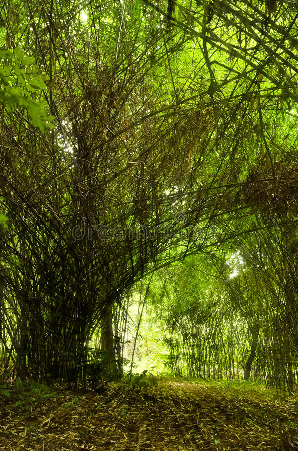 Download Bamboo forest stock image. Image of flora, morning, peaceful - 26283905