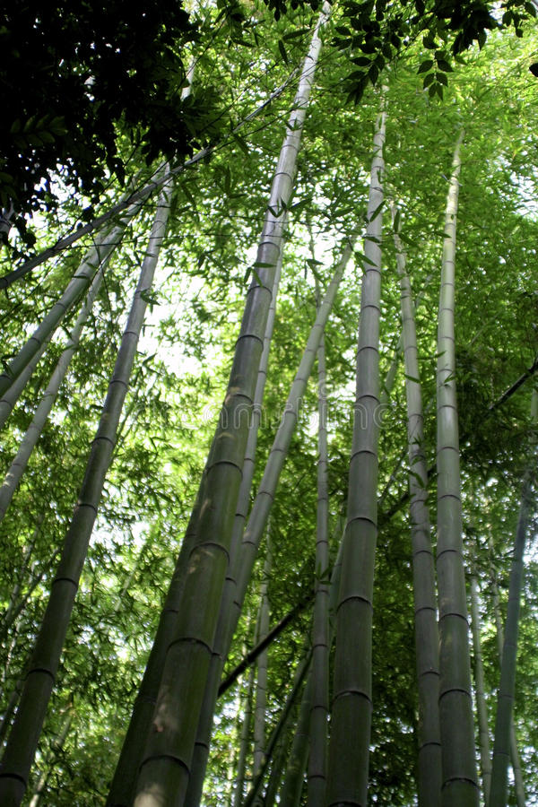 Download Bamboo Forest stock photo. Image of trees, sunny, bamboo - 26419152