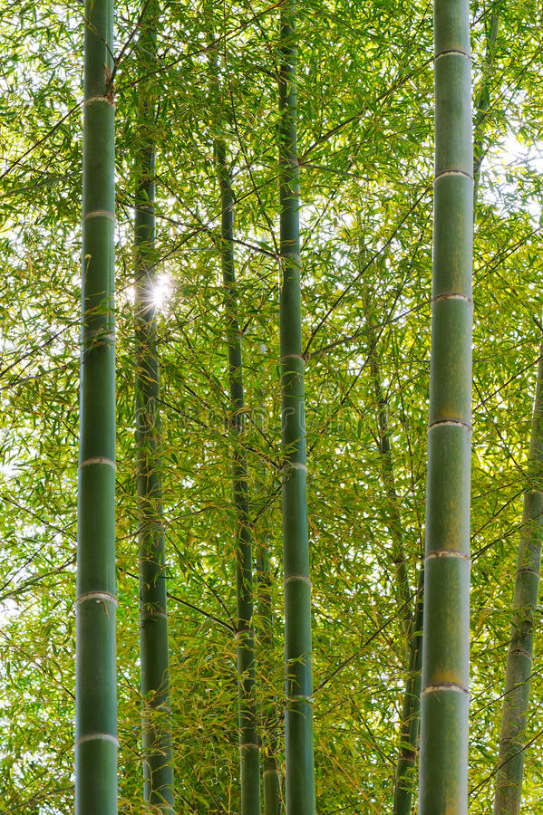 Download Bamboo Forest stock photo. Image of grove, asia, nobody - 27139296