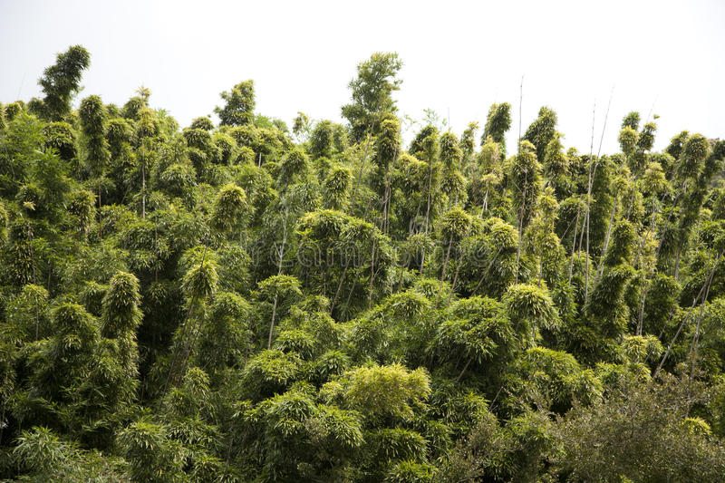 Download Bamboo Forest Royalty Free Stock Photos - Image: 27742488