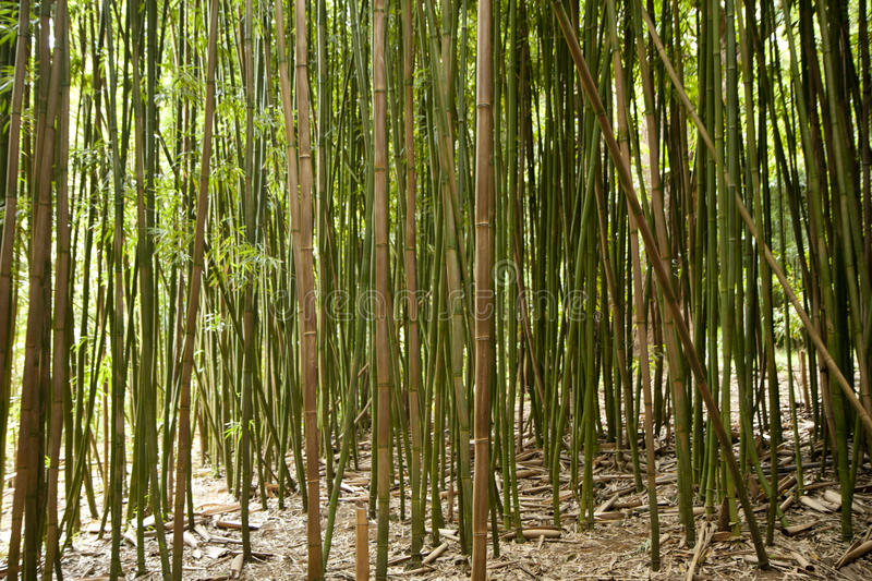 Download Bamboo forest stock photo. Image of nature, wild, maui - 27742516