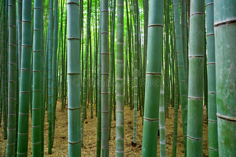 Bamboo forest. Beautiful bamboo forest in Japan stock photography