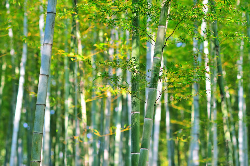 Download Bamboo forest stock image. Image of branch, nature, oriental - 29410999
