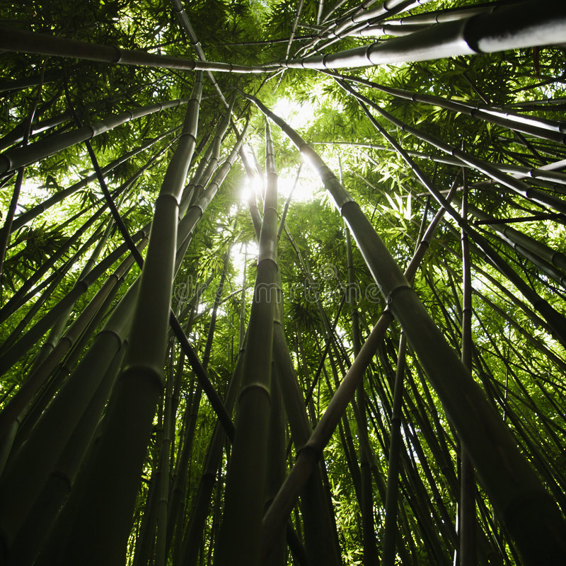 Bamboo forest. royalty free stock photos