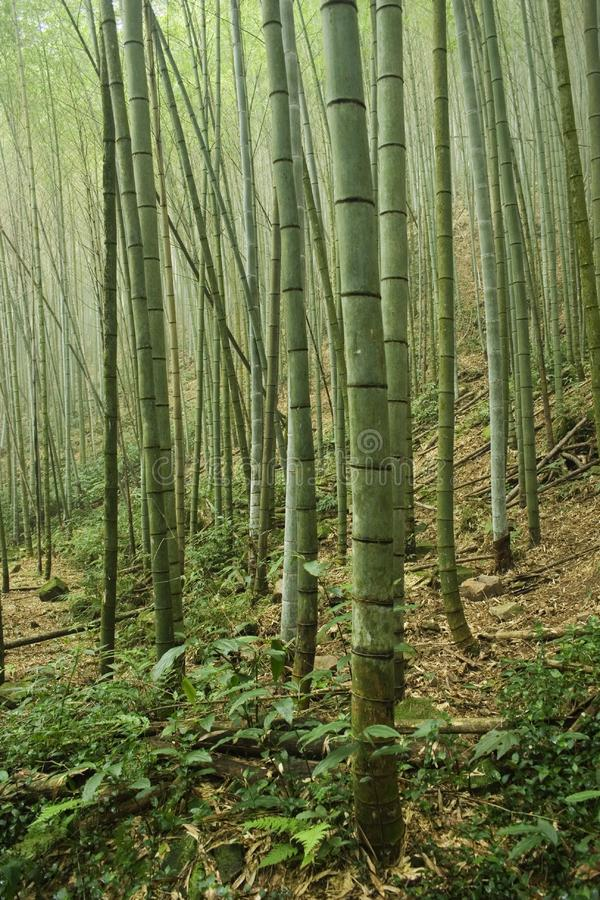 Bamboo Forest Free Stock Photo