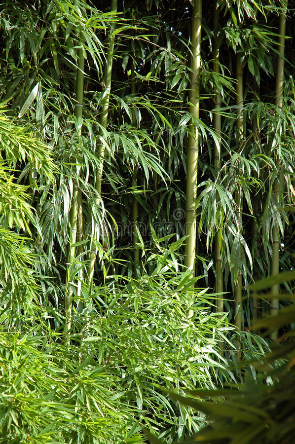 Bamboo forest. Green bamboo forest in a sunny day stock photography