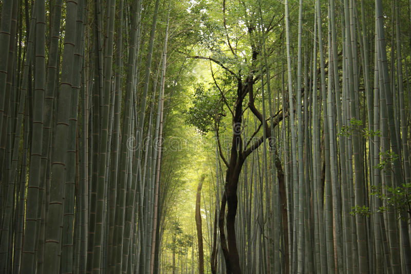 Download Bamboo Forest stock photo. Image of green, tourist, natural - 38602674