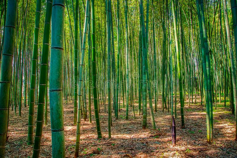 Bamboo forest in Arashiyama, Kyoto, Japan. For background royalty free stock images