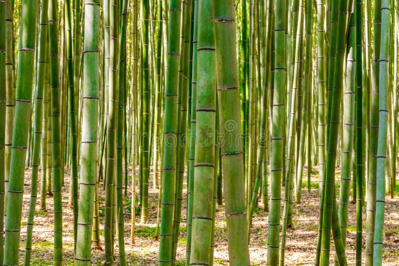 Bamboo forest in Arashiyama, Kyoto, Japan. For background royalty free stock photo