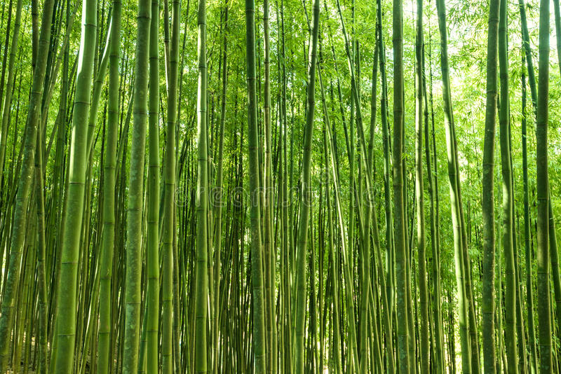 Bamboo forest. In Asia, beautiful background or wallpaper royalty free stock photos
