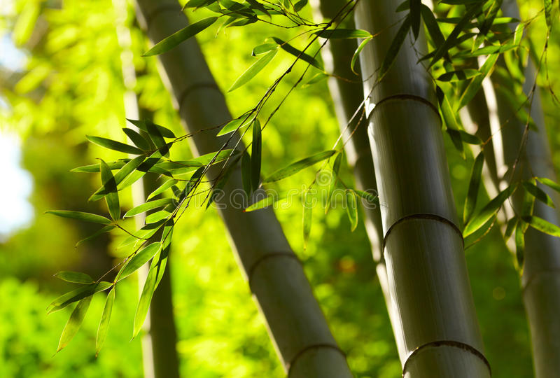 Bamboo forest background. Shallow DOF stock images