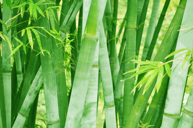 Bamboo forest background. Shallow DOF royalty free stock photography