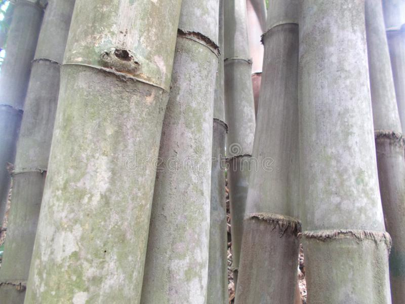 Bamboo forest of big grey and green bamboo trees royalty free stock photography