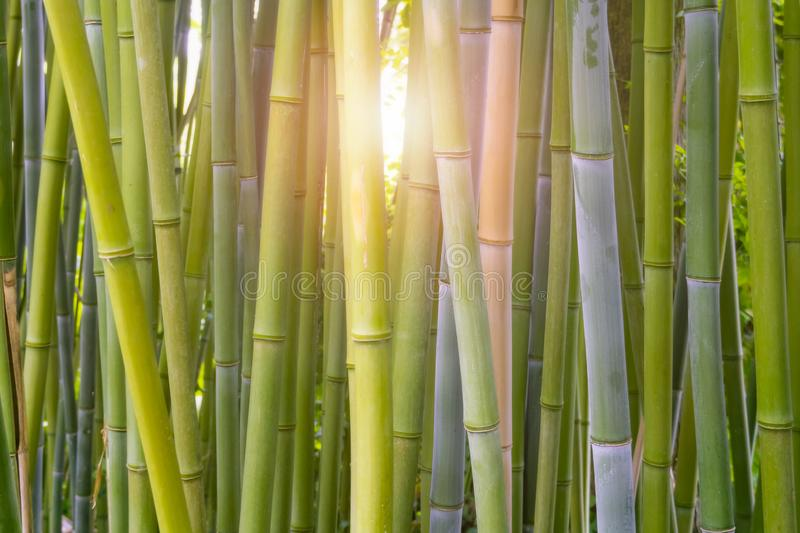 Bamboo forest close-up with light flare or burst shining through the stems. Plant and greenery background, backdrop royalty free stock images
