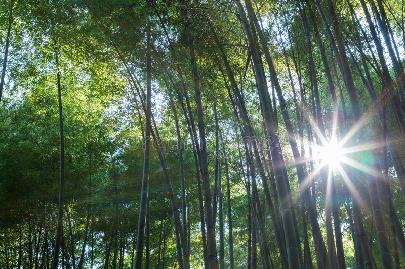 Bamboo forest closeup. And sun rays light stock photo