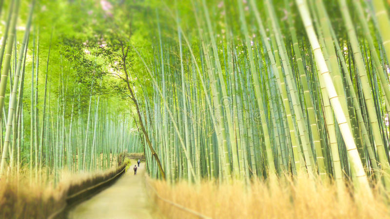 Bamboo Forest Drenched in the Sun. Bamboo forest drenched in warm sunlight in wintertime at Arashiyama Bamboo Grove, Kyoto, Japan stock image