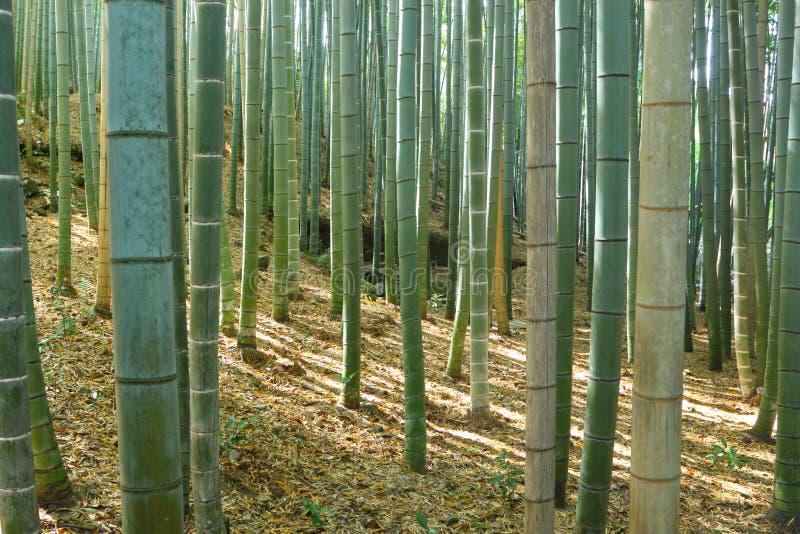 Bamboo forest. Famous bamboo forest in Arashiyama, Kyoto stock image