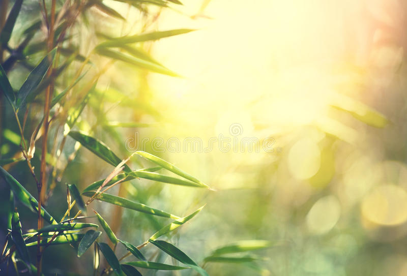 Bamboo forest. Growing bamboo stock photos