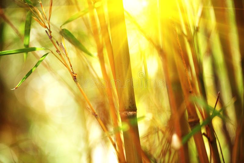 Bamboo forest. Growing bamboo over blurred background stock image