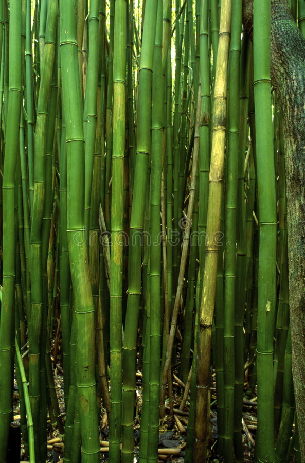 Bamboo forest in Hawaii royalty free stock photography