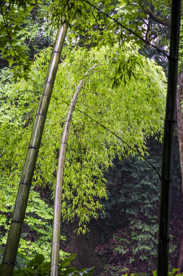 Bamboo forest in Huangshan. Deep in the bamboo forest of Huangshan Mountain, Bamboo forest ecotourism is an important constituent of Chinese forest ecotourism royalty free stock image
