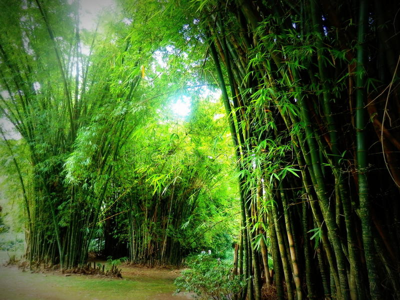 Bamboo forest in Japanese garden. Secluded bamboo forest in Japanese garden on sunny day royalty free stock photo