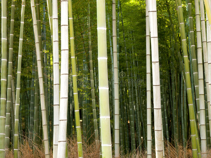 Bamboo forest in Kyoto, Japan royalty free stock photo