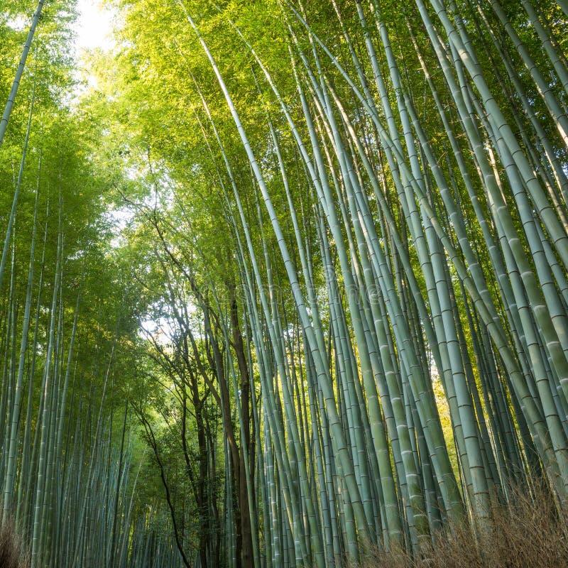 Bamboo forest in Kyoto. Japan(Arashiyama royalty free stock photo