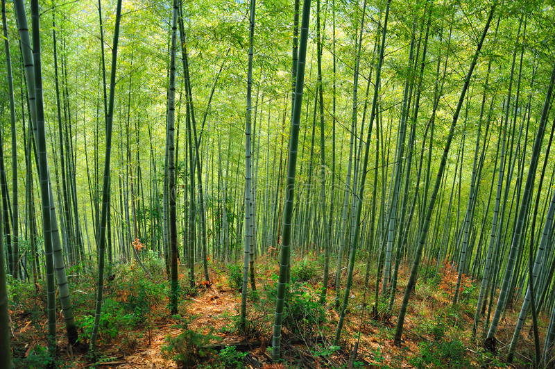 Download Bamboo Forest stock photo. Image of nature, asian, tree - 29945860