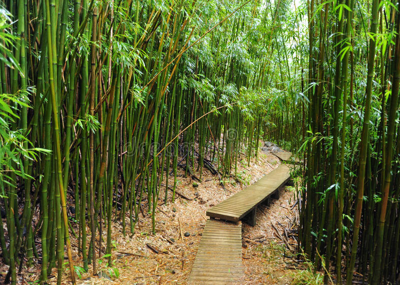 Bamboo forest, Maui, Hawaii stock images