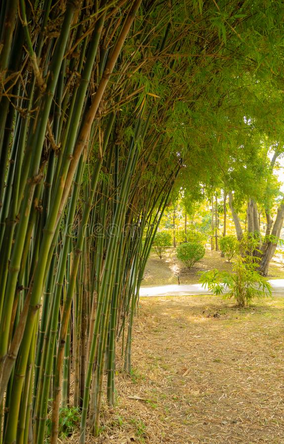 Bamboo forest with natural light in garden. Green Bamboo forest with natural light in garden stock images